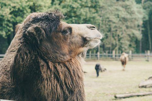 camel captivity wood