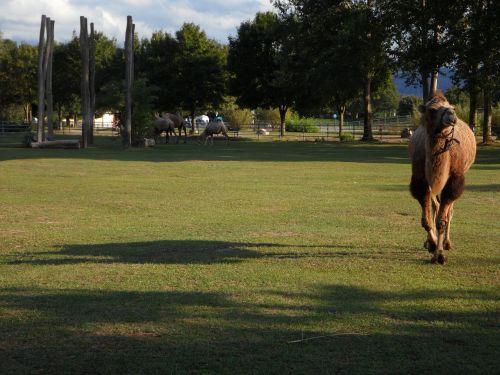 kupranugaris,ilgas šešėlis,šešėlis,pieva,ganykla,abendstimmung,zoologijos sodas