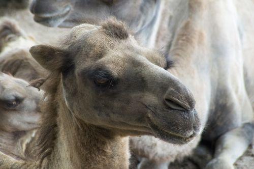 camel desert desert climate