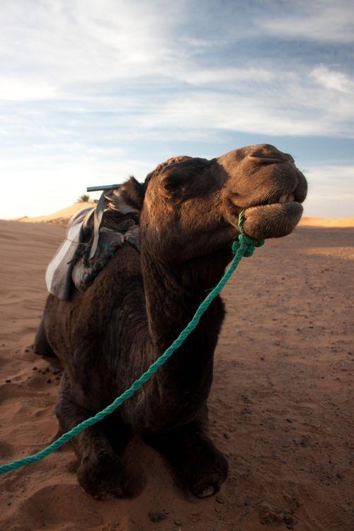 camel desert portrait