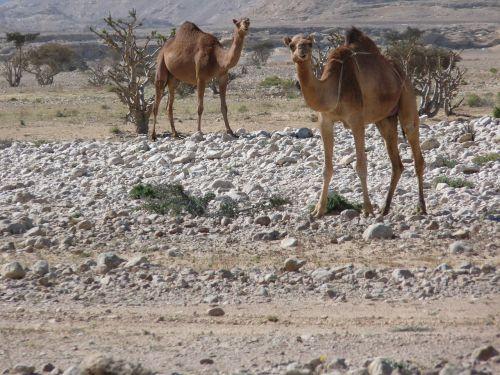 camel desert wadi