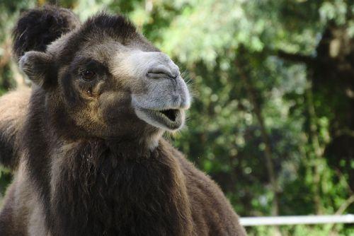 camel zoo dromedary