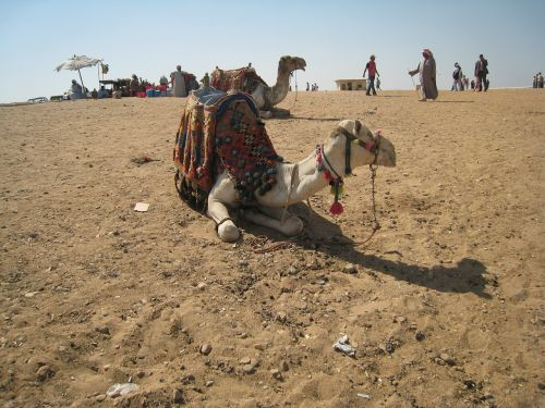 camel egypt cairo
