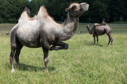 camel camelus bactrianus paarhufer