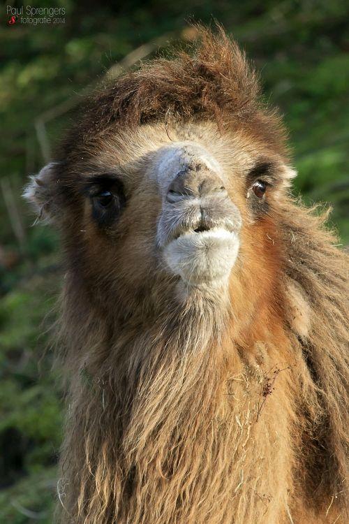 camel desert ship zoo