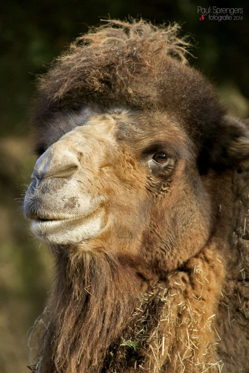 camel camels desert ship
