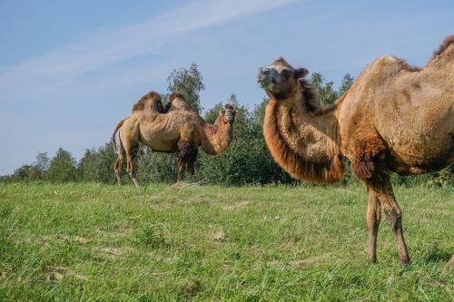 camel wild bactrian camels camels