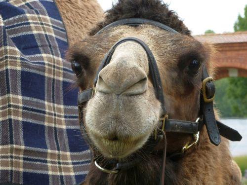 camel face close