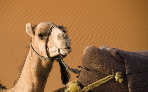camel desert morocco