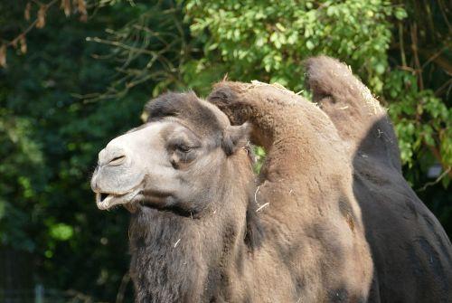 camel hump head
