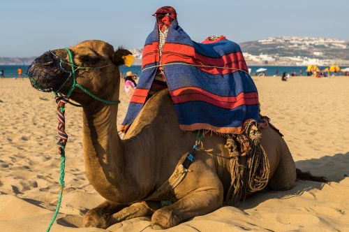 camel dromedary beach