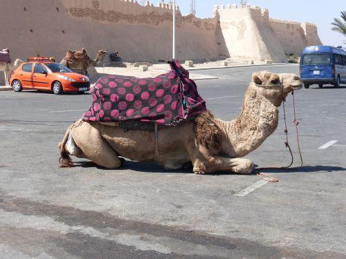 camel rest morocco