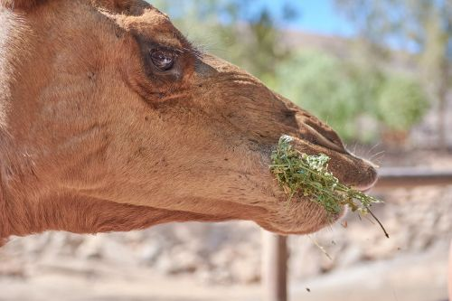 camel eat straw