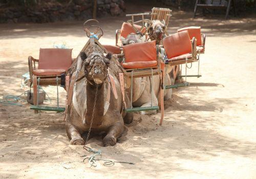 camel safari desert