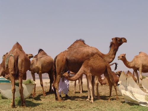 camel saudi arabia the conditions of the pact