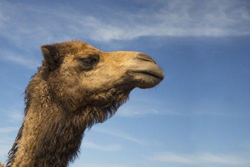 camel  camel head  animal