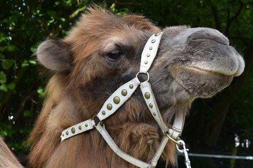 camel  desert ship  animal