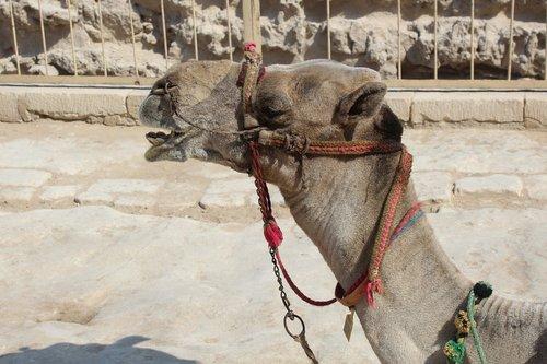 camel  desert  egyptian camel
