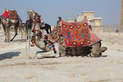 camel  khufu  pyramid