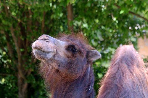 camel  dromedary  animal