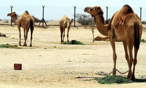 camel  desert  qatar