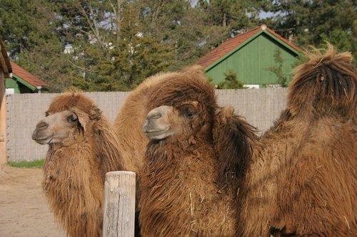 camel  zoo  bump