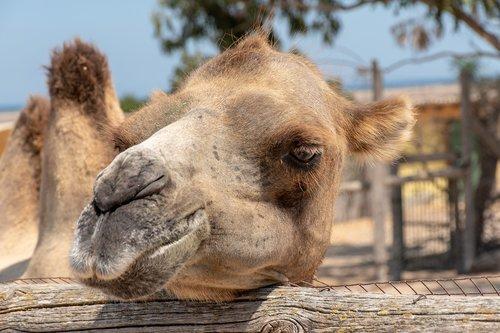 camel  animal  desert