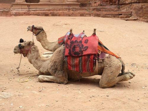 camel  camels  sitting camel
