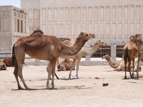 camel  doha  hot