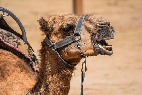 camel  head  animal