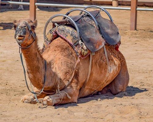 camel  sitting  animal