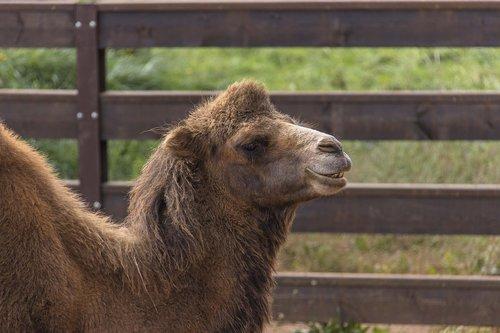 camel  portrait  animals