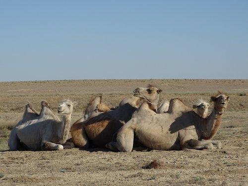 camel  steppe  desert