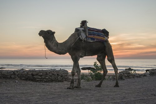 camel  morocco  beach