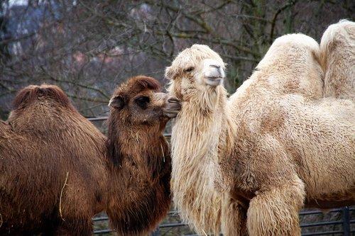 camel  animal  sahara