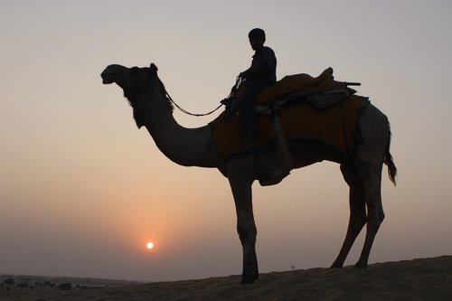 camel  camel safari  desert