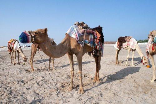camel  qatar  desert