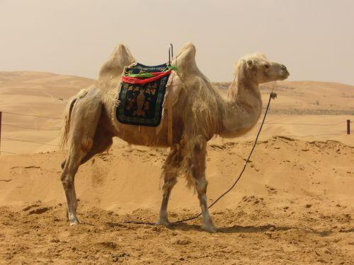 camel desert sand
