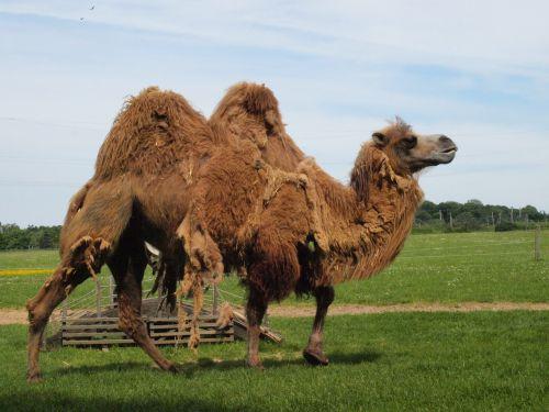 camel shedding summer coat