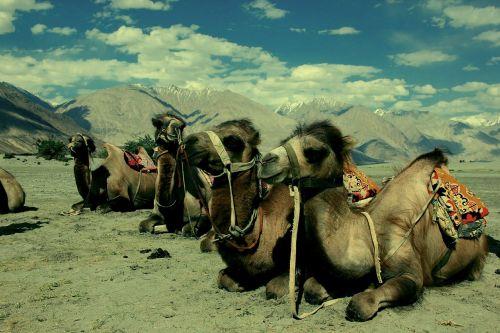 camel ladakh desert