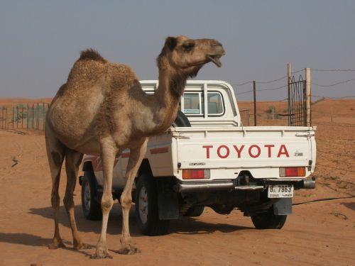 camel toyota desert