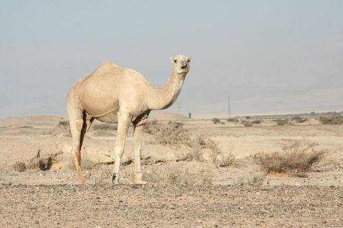 camel dromedary one hump