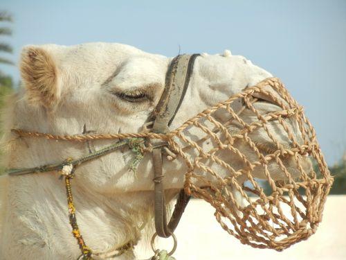 camel dromedary desert
