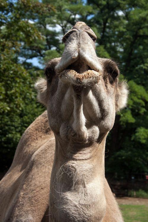 camel head muzzle animal