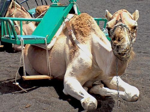 camel animals dromedary