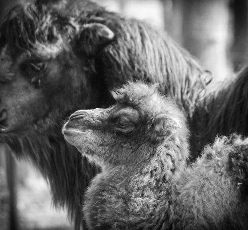 camel,foal,baby camel,newbie,animal,animals,ungulates,zoo,camelus bactrianus,camelus,hairy,desert animals,cute,free photos,free images,royalty free