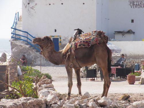 camel arabic sahara