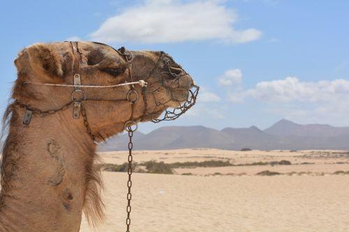 camel desert animal
