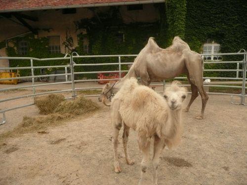 camel cub sanfrancisco freiburg