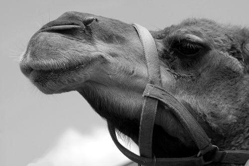 Camel Face Background